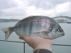 The Black Bream