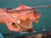 The Gurnard